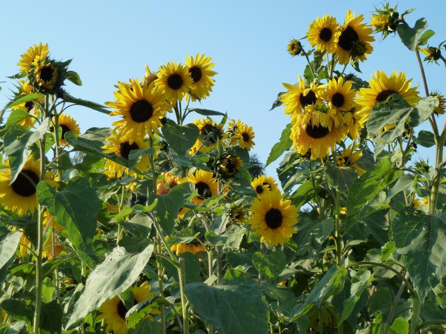 Sonnenblumenfeld bei Beenhausen