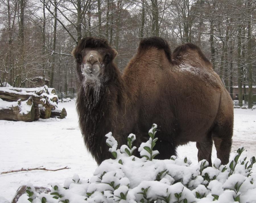 Trampeltier im Winter
