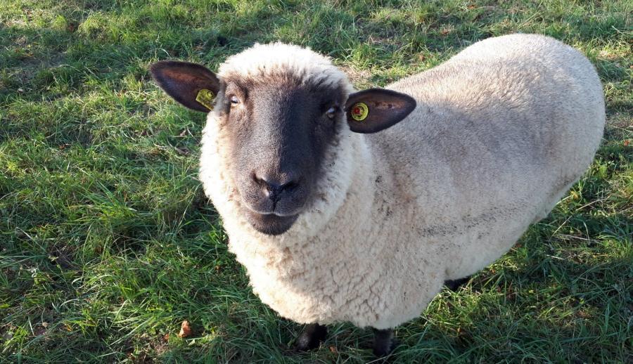 Mitglied der Schafherde