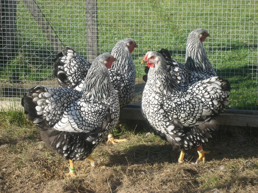 drei Hennen