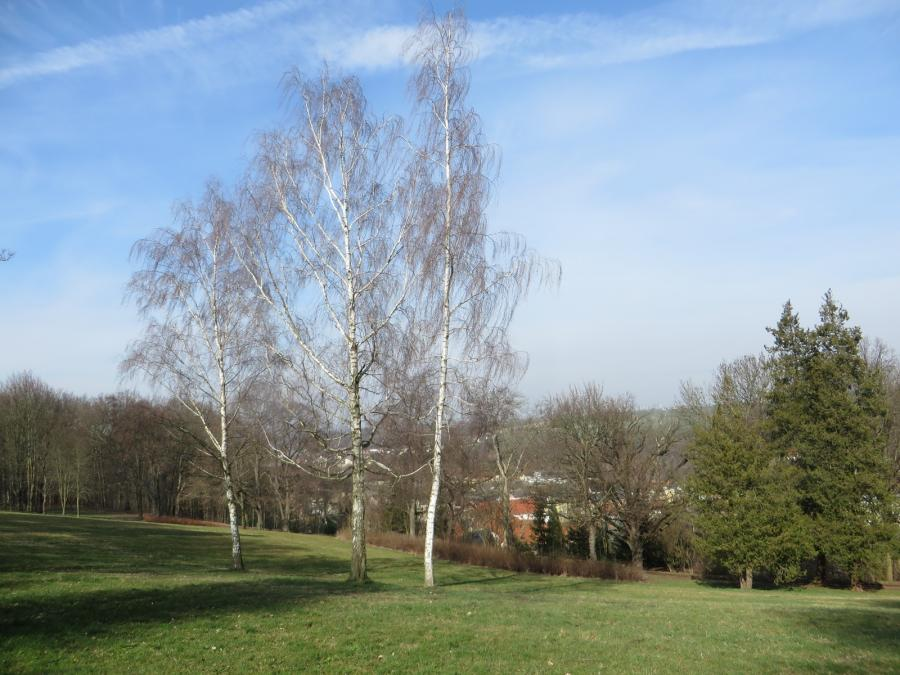 Birken im Stadtpark