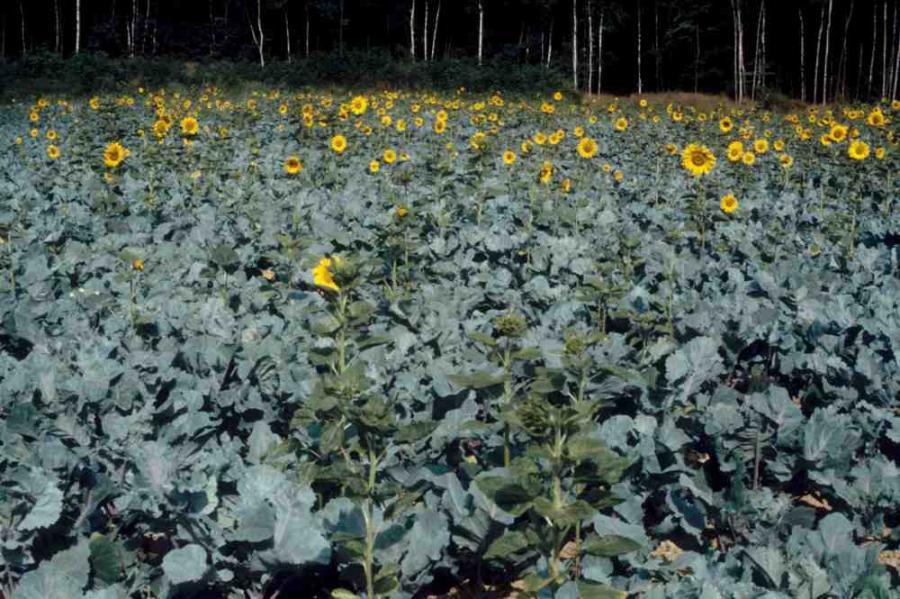 Sonnenblumen im Kohlacker