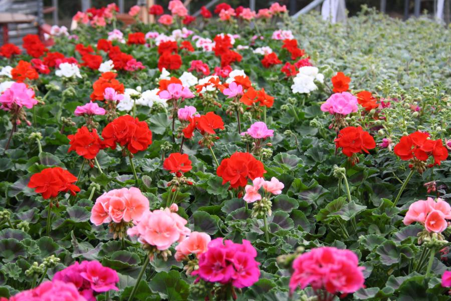 Blumenhaus Karin Kienitz Beet Und Balkonpflanzen Gute Laune