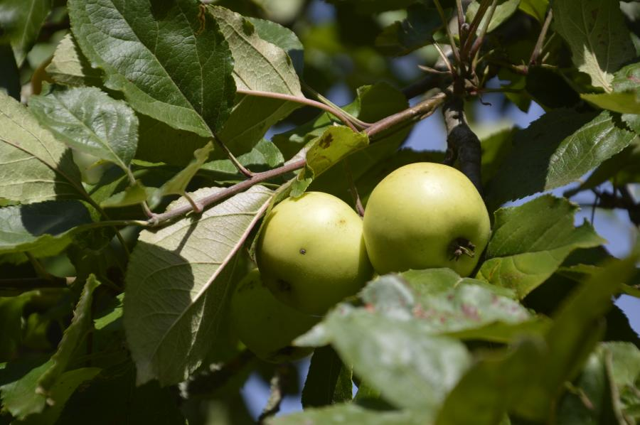 Obstbaumbestellung