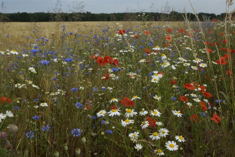 Getreidefeld im Sommer unweit von Sieversdorf und Hohenofen