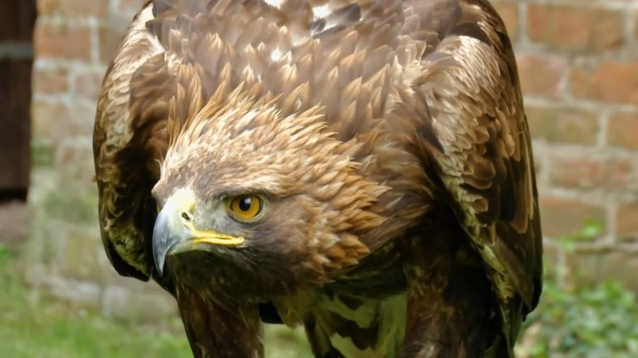 Adler auf der Plattenburg