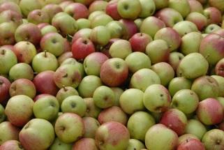Äpfe zum Mosten