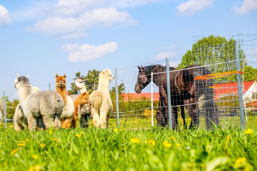 Alpakas und Pferde