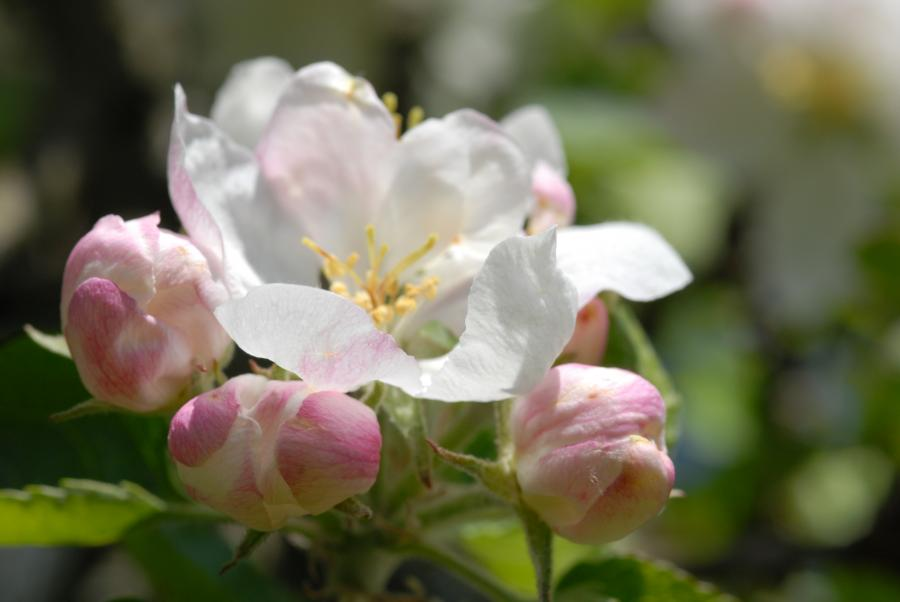 Apfelblüte mit Knopsen