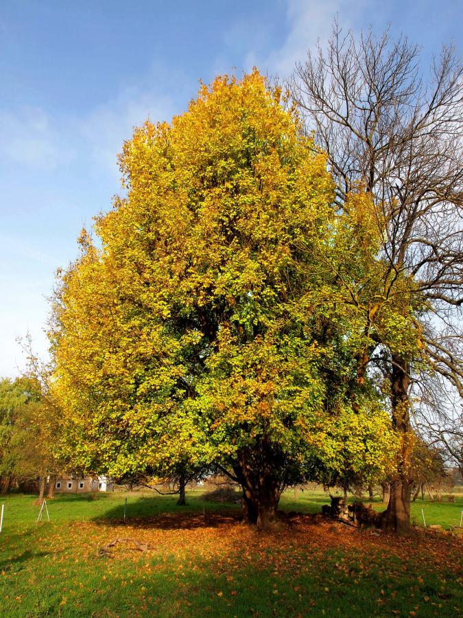 Baum2015 Feld-Ahorn / Foto: A.Roloff