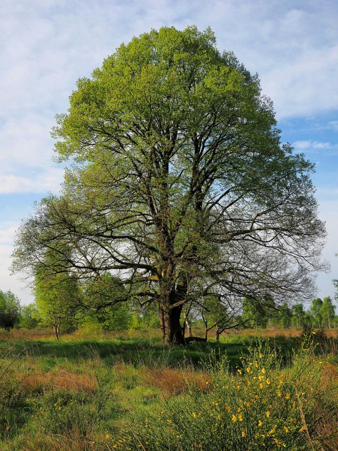 Baum2016 Winter-Linde, Naturdenkmal bei Riesa / Foto: A.Roloff