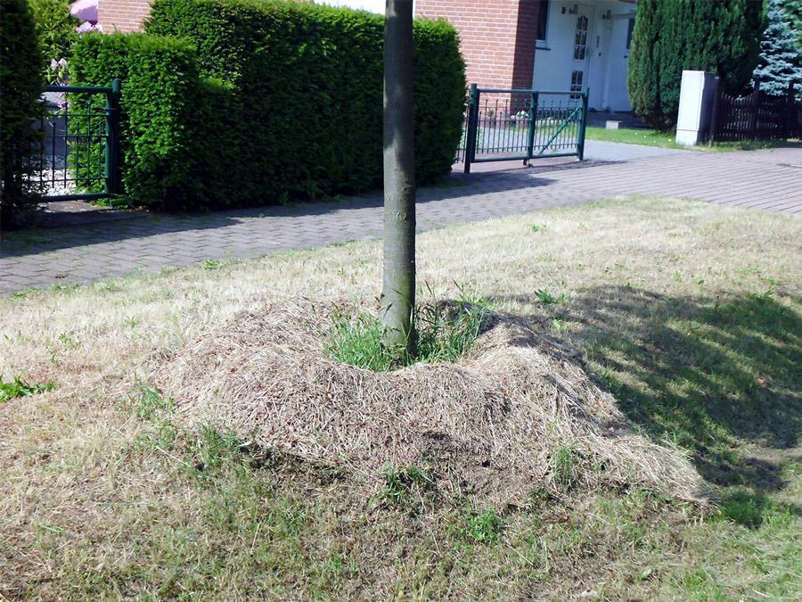 Bitte keinen Rasenschnitt auf die Baumscheiden geben.