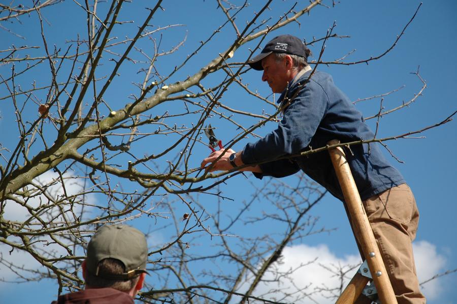 Baumwart auf Leiter
