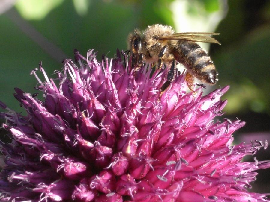 Blüte - Biene