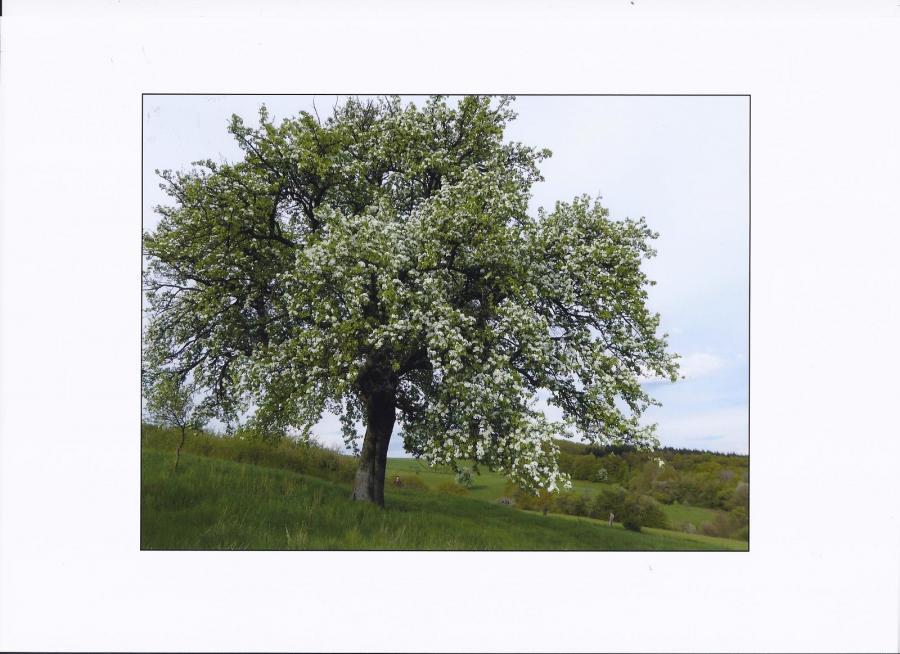 Frankelbacher Mostbirne, Baum in der Blüte