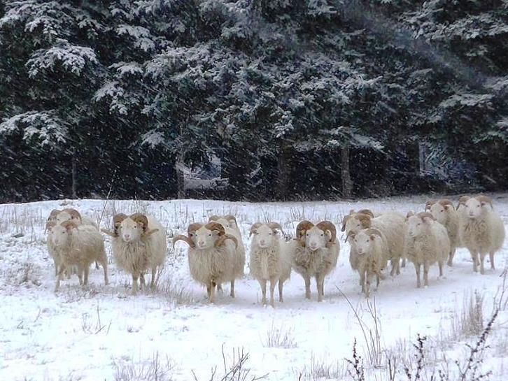 Ostpreußische Skudden Böcke im Schnee