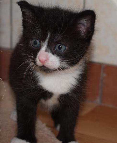 Svea Kitten