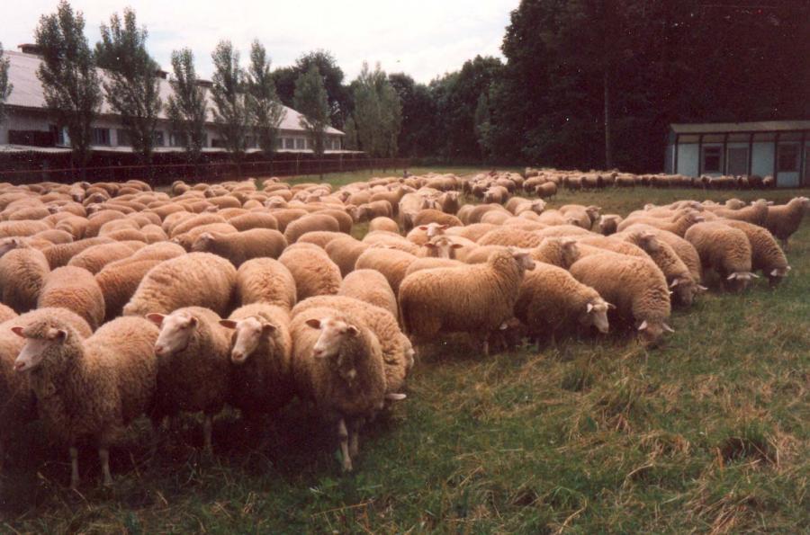 Leinezucht 1985 Cerwica