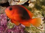 Glühkohlen-Anemonenfisch
