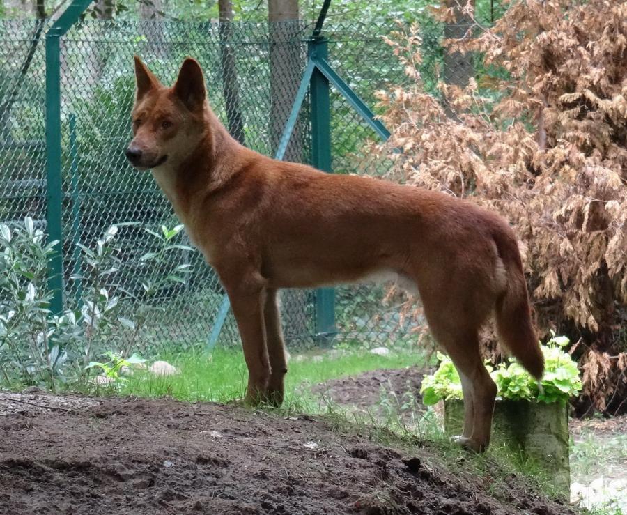 Dingo 110915