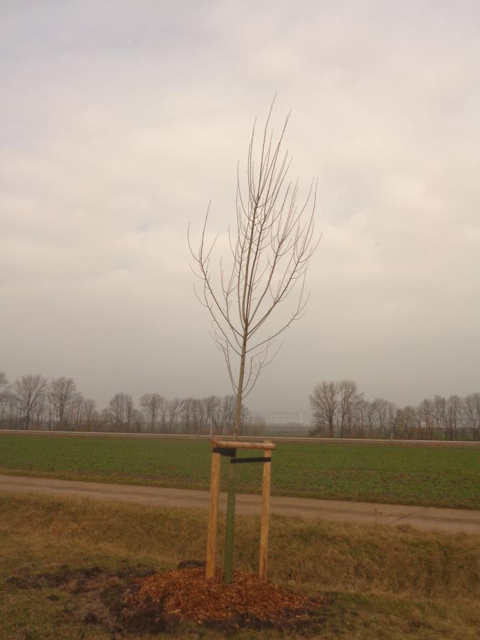 Baumpflanzung_Schwerstedt