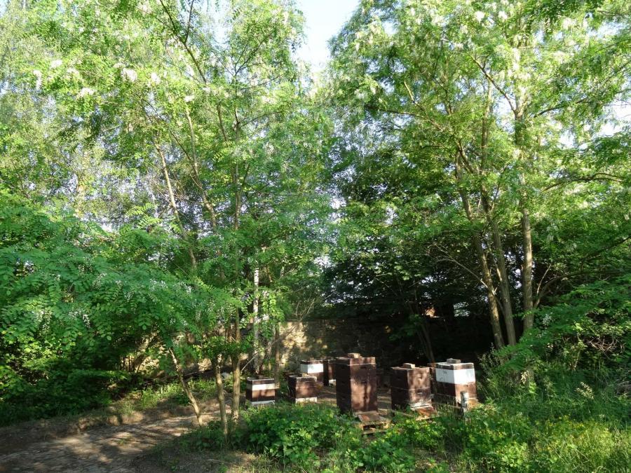 Die Bienenvölker auf ihrem Standplatz am Hof unter blühenden Robinien