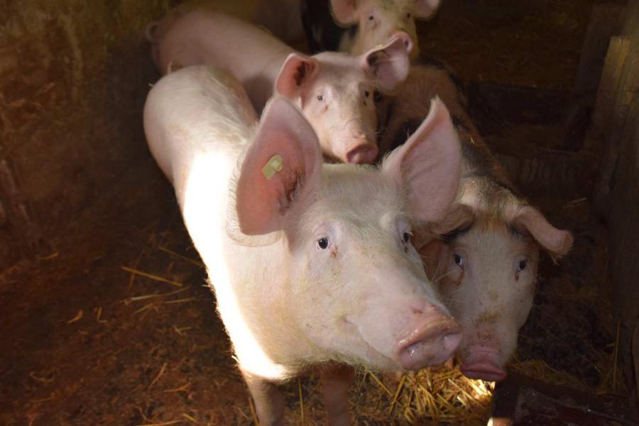 Die Schweine im Stallkomplex Böhla