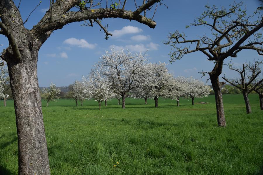 Baumblüte bei Niedermuschütz