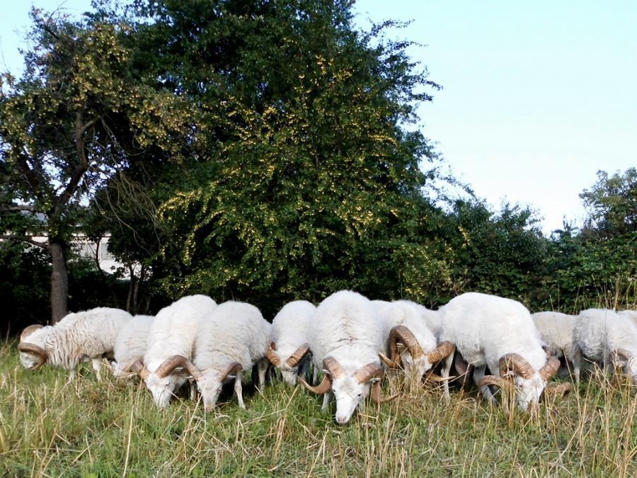 Bockgruppe auf einer der Streuobstwiesen 2015