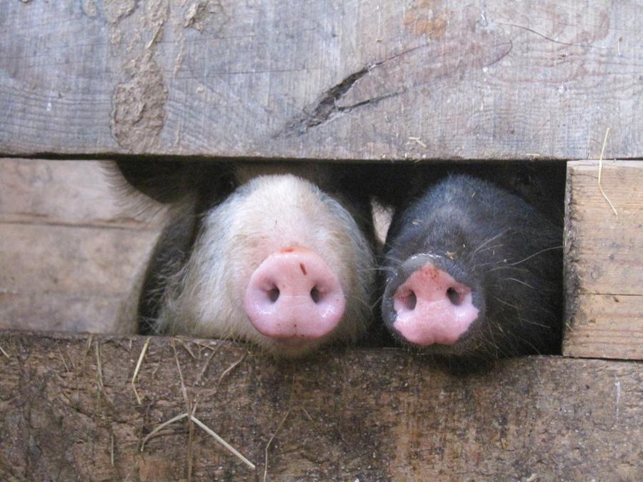 Hallo_Schweine