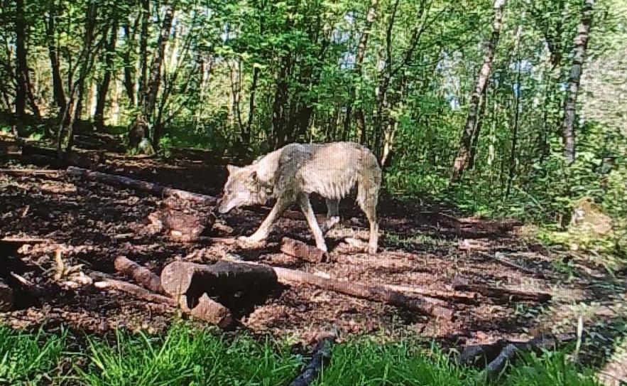 Ein Wolf streift durch Hasenmoor (2018)