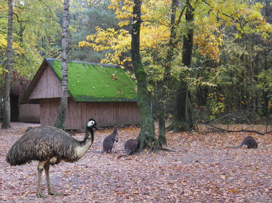 Emus und Känguru 2