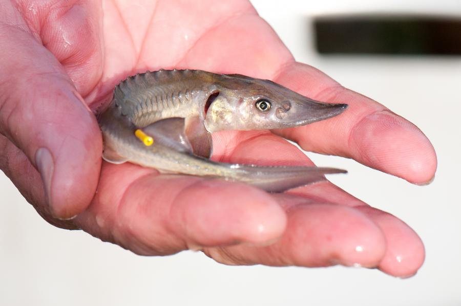 Fisch2014 Stör / Foto: Philipp Freudenberg