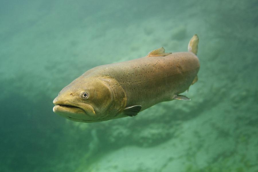 Fisch2015 Huchen / Foto: Herbert Frei