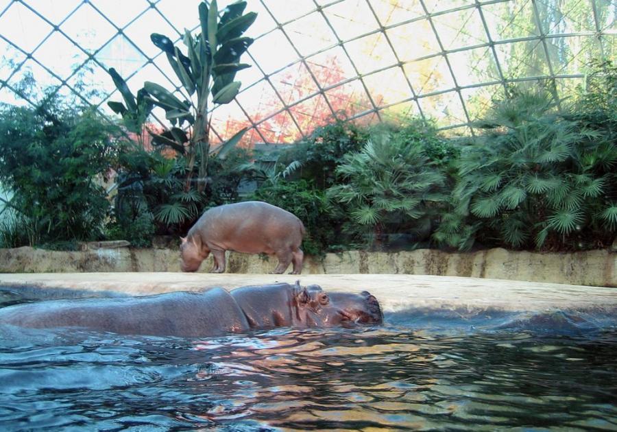Flusspferde mögen Wasser.