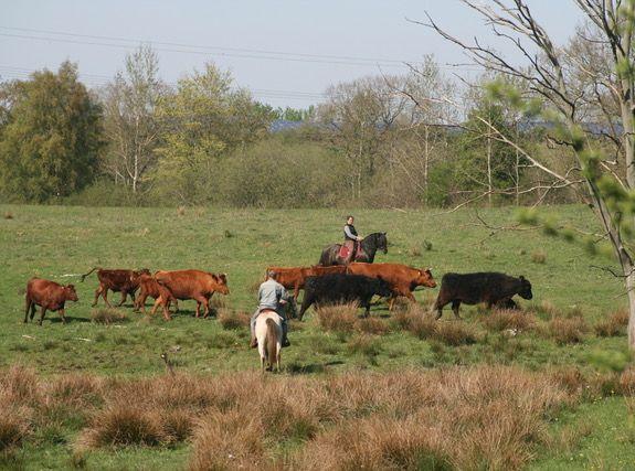 Rinderarbeit mit Pferden 2