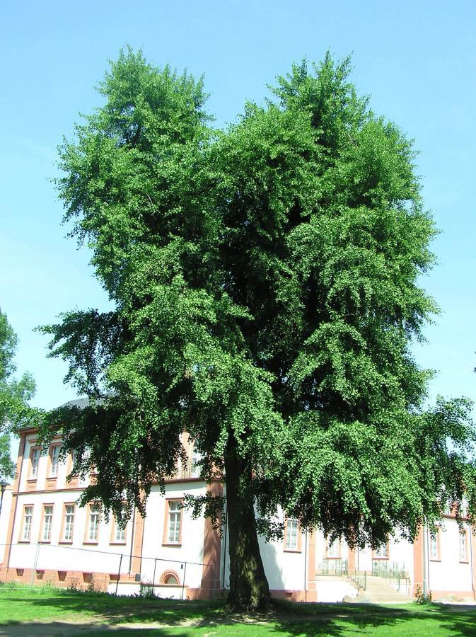 Gingko im Schlosspark, um 1860 gepflanzt