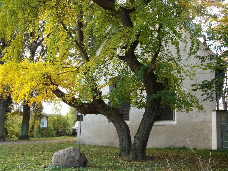 Gingobaum an der Kirche St. Levin