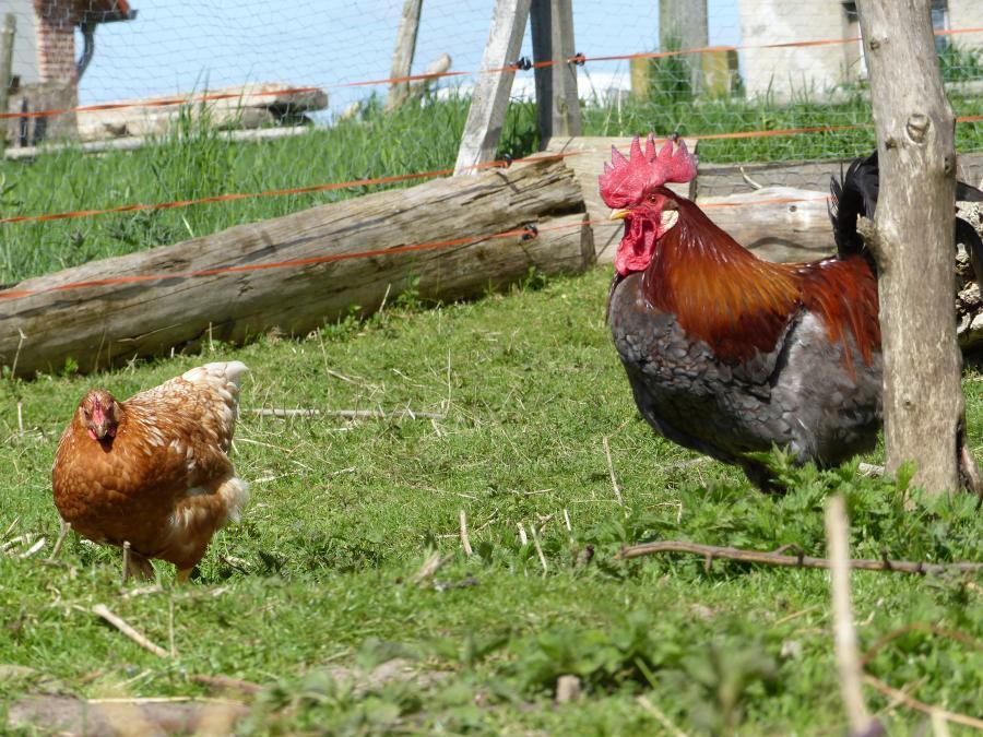 Hühner Foto: J. Gösling