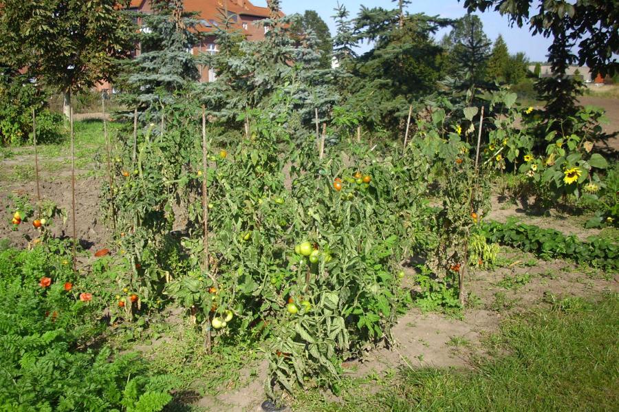 Tomatenbeet