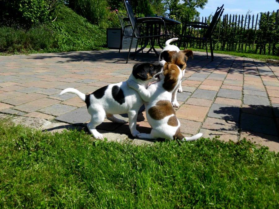 Hundwelpen
