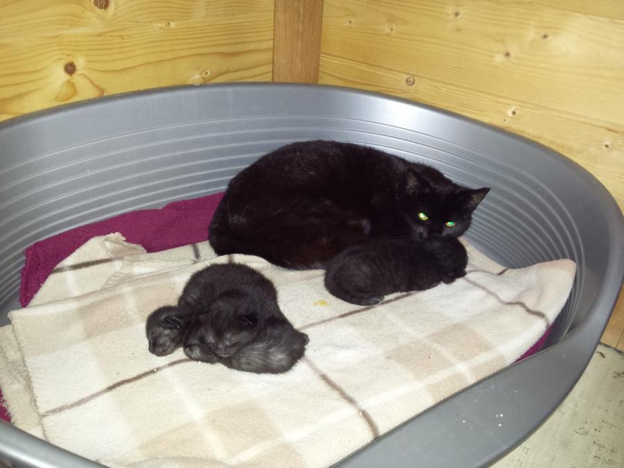 Schwarze Mutti mit 3 Kitten