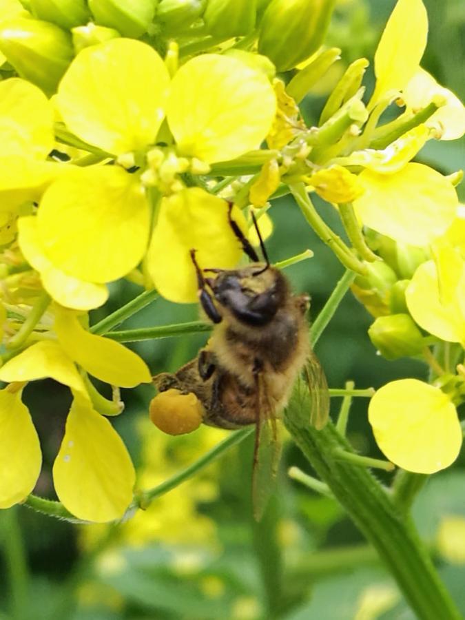 Biene besucht Senfblüten