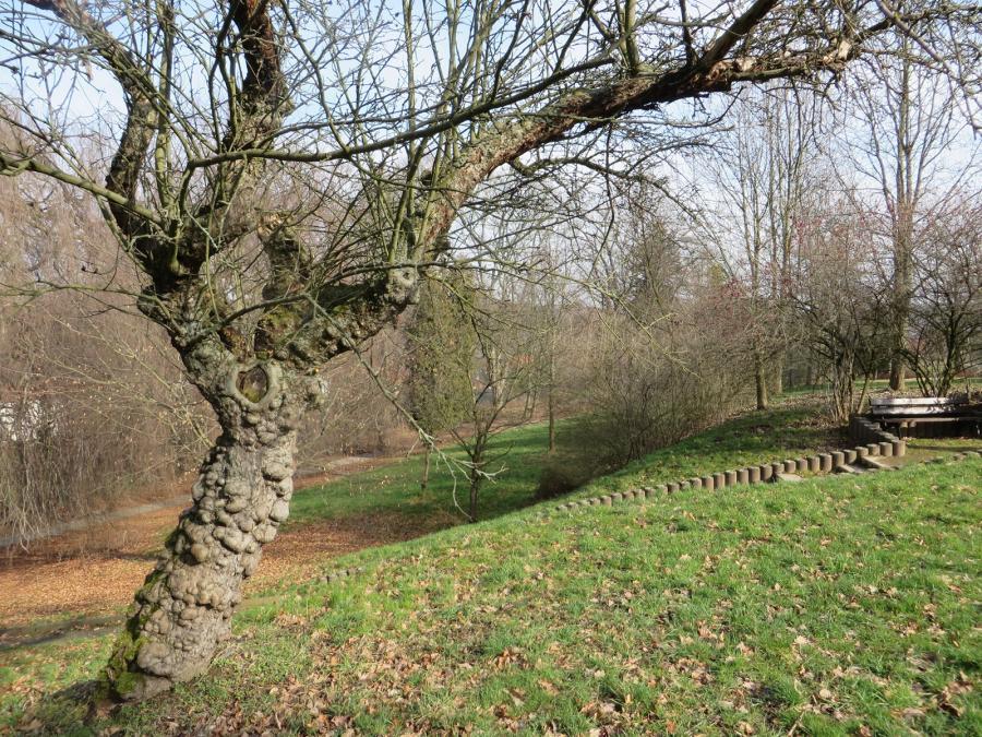 Apfelbaum im Stadtpark