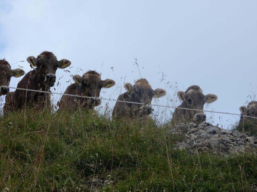 Jungvieh auf Alpe