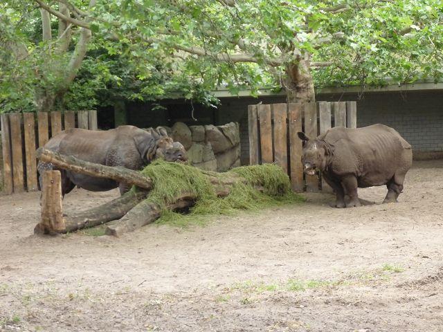 Nashörner im Außengehege