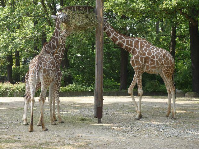 Mittagessen für Giraffen