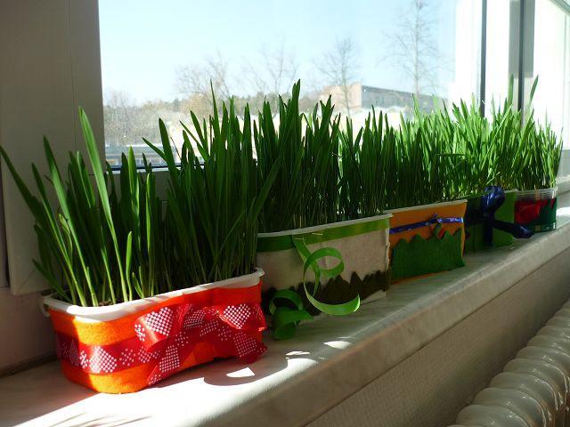 Das Ostergras wächst!