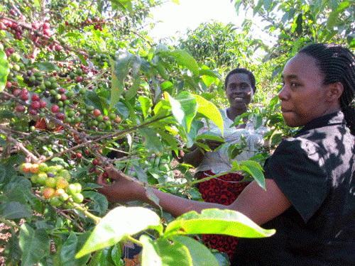 Kaffeebauern in Ruanda