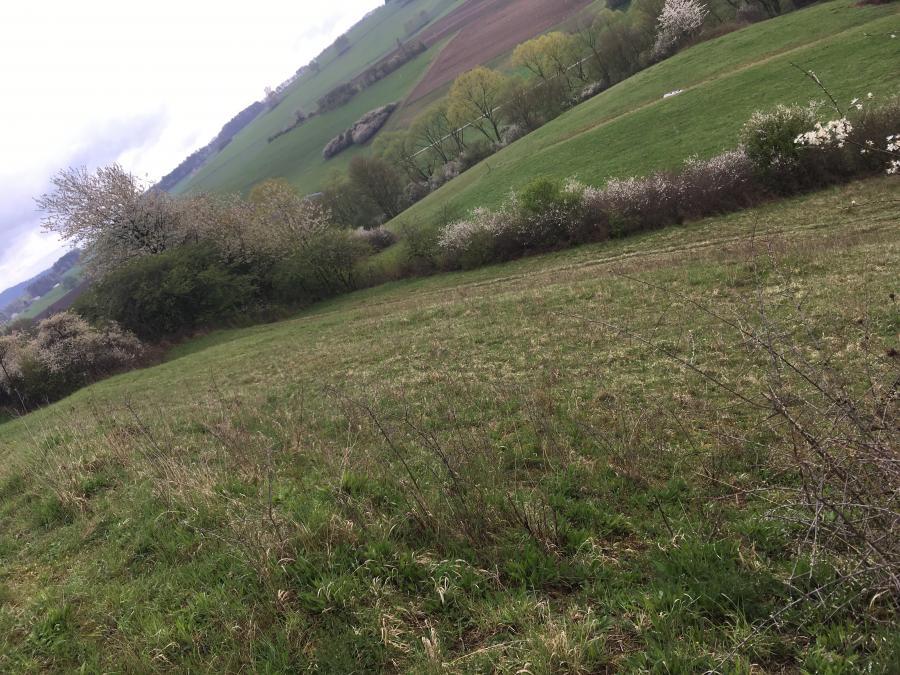 Kalkmagerrasenfläche mit Wacholderbüschen